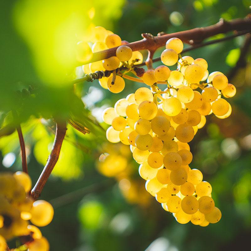 Freizeit und Umgebung Weinrebe